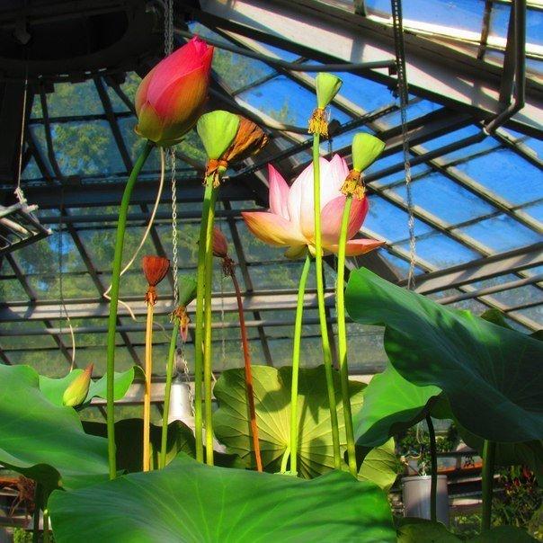 Викторная оранжерея Ботанического сада будет открыта до конца сентября