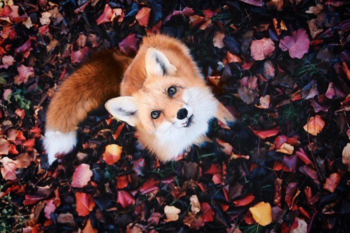 Ginger Fox Day